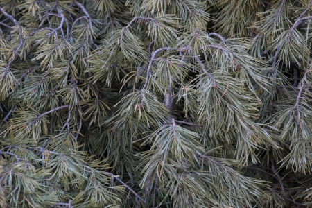 fresh pine branches Stock Photo
