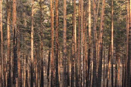 pinewood Stock Photo - 16124685