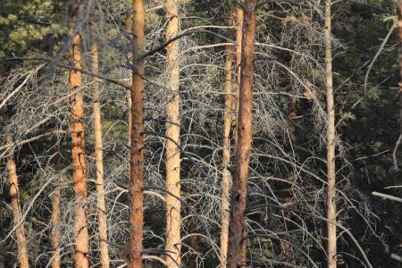 pinewood Stock Photo - 16124639