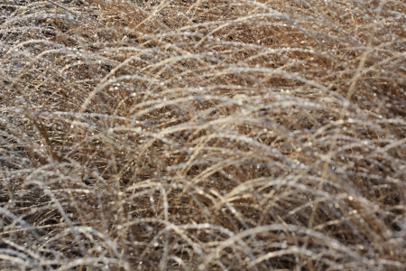 Frozen dry grass photo