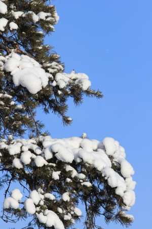 snowcovered: snow-covered branches and trees Stock Photo