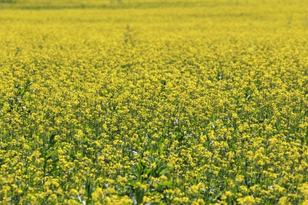 field with yellow flowers photo