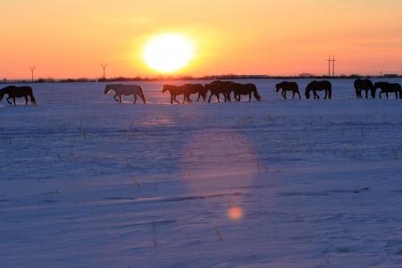 herd of horses on sunset background