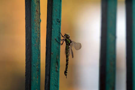 pruinose: A dragonfly sitting on the metal fence Stock Photo