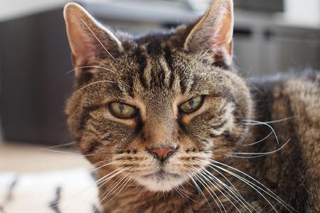 european: European shorthair cat