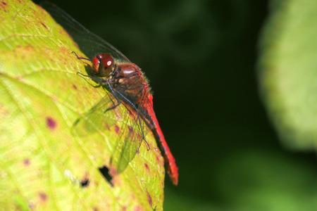 dropwing: A ruddy darter dragonfly