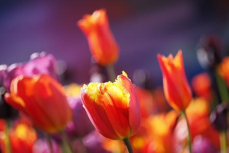 botanics: Red tulips in spring