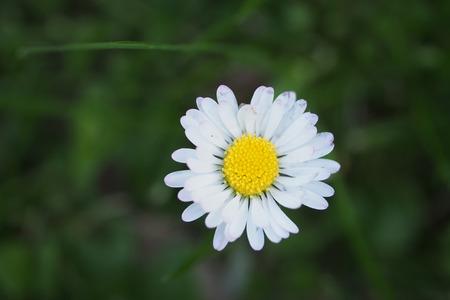 A daisy in bloom