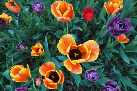 Tulips in different colors