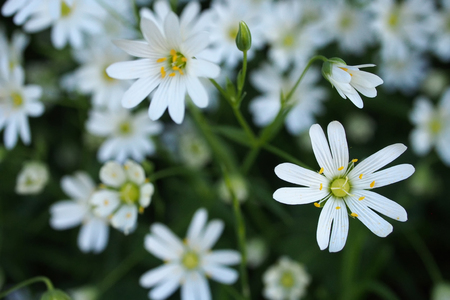 Chickweed flowers on a field Stock Photo