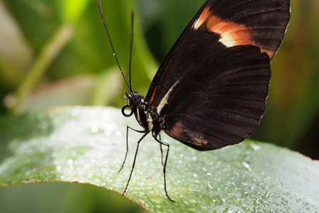Heliconius butterfly on a leaf Stock Photo