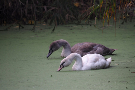 Young swans at the Rieselfelder nature reservation near Munster