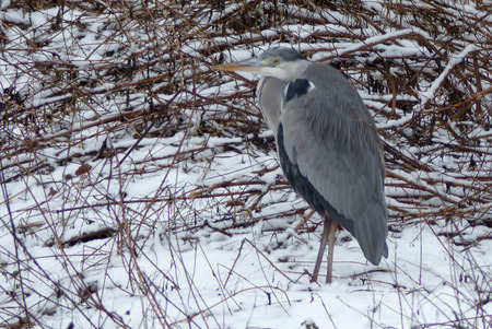 Gray heron in a forest in winter