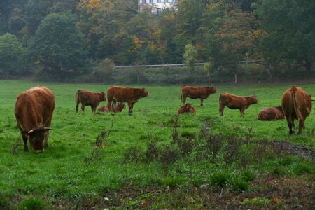 A green pasture with cows in the Eifel region