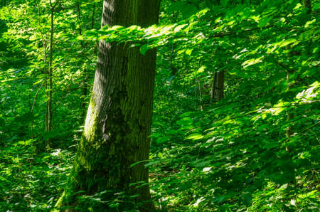 Old tree and green leaves in the forest Stok Fotoğraf