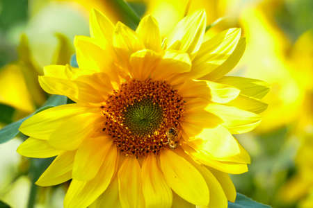 A sunflower with a bee in summer