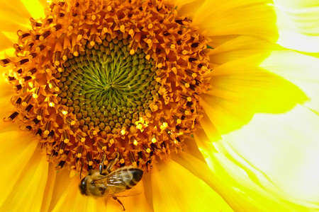 Bee and sunflower in summer Stok Fotoğraf
