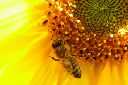 Bee on a sunflower in summer Stok Fotoğraf - 152331915