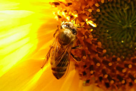 Bee collecting pollen in a sunflower Stok Fotoğraf - 152334310