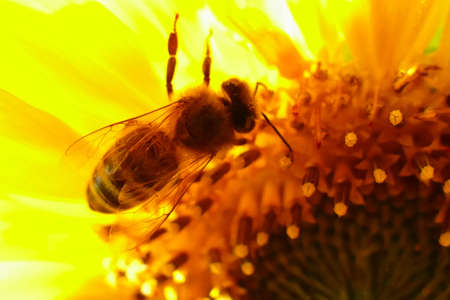 Bee collecting pollen in a sunflower