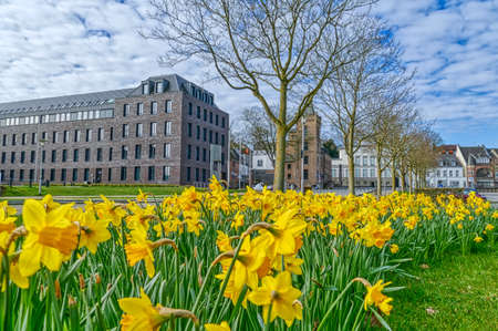Daffodils on a public place in Kleve Stok Fotoğraf