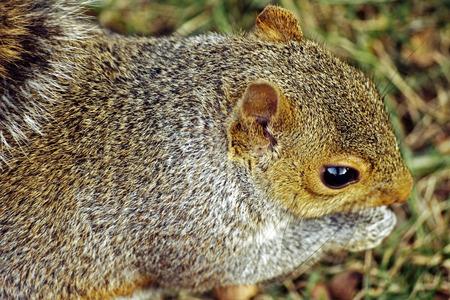 Closeup of gray squirrel  A gray squirrel chomping on acorn at Urbana, Illinois photo