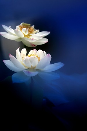 understated: Beautiful lotus flower