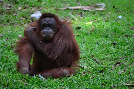 simia troglodytes: ape is sitting on the grass