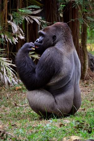 environmen: gorilla is eating lunch