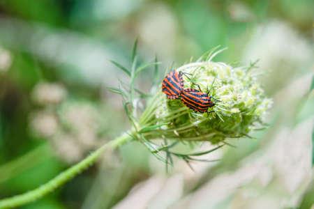 Bug on a flower. Dorsal view of graphosoma italicum. Striped bug or Italian striped bug or Minstrel bug mating. Archivio Fotografico