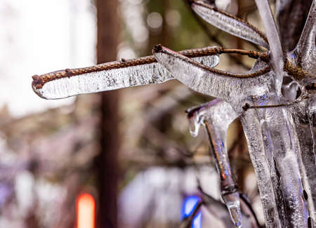 Ice covered tree branch in winter in nature.