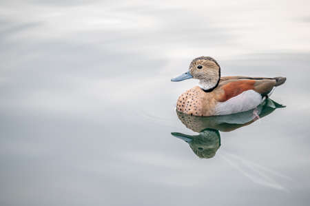 Duck in water. One cute beautiful duck floating in water in Lake Geneva, Switzerland. Beauty in nature.