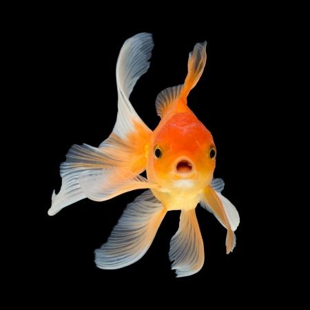 peces de colores: Goldfish aislado en el fondo negro Foto de archivo