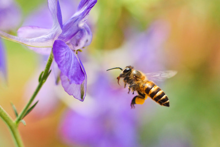 bee and flower: Honey Bee flying to the flower