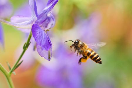 abejas: Honey Bee volando a la flor
