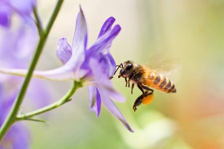 Honey Bee volando a la flor