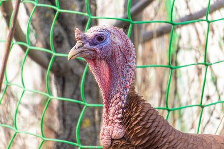 Country red Turkey close-up portrait. Brown feathered domestic bird. Rural life on a farm.