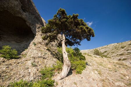 Beautiful old tree with green leaves on the mountain. Colorful landscape with cloudless sky. Summer forest. Travel in Crimea. Nature background. Scenery.