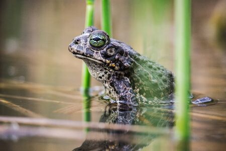 Frog or toad close up sitting in the water among the grass and reeds. Amphibian in its natural habitat. Foto de archivo