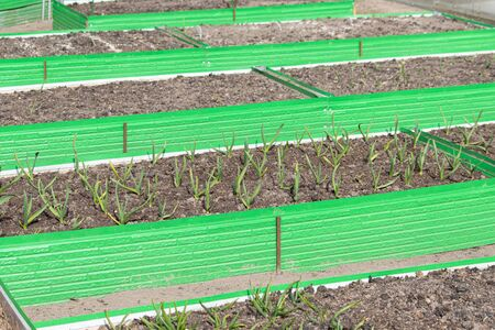 Garlic and vegetable crop in green plastic frames. Raised beds in garden box in early spring. Herbs growing in container. Archivio Fotografico