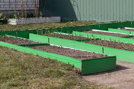 Garlic and vegetable crop in green plastic frames. Raised beds in garden box in early spring. Herbs growing in container. Foto de archivo