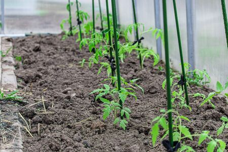 Tomato seedlings in a polycarbonate greenhouse. Interior of building for growing vegetables and fruits in winter and early spring. Sprouts in garden.