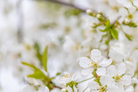 White cherry blossoms close-up. Postcard with the image of spring flowers. Space for text