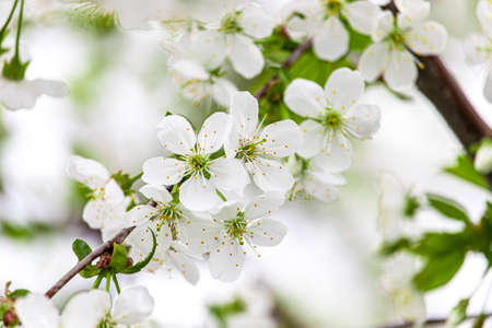White cherry blossoms close-up. Postcard with the image of spring flowers