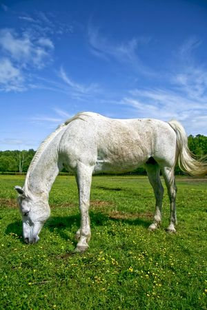 arab spring: Grey Arab poney grazing in a meadow during the spring time.