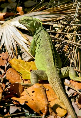 Iguana found roaming on a tropical lush island.