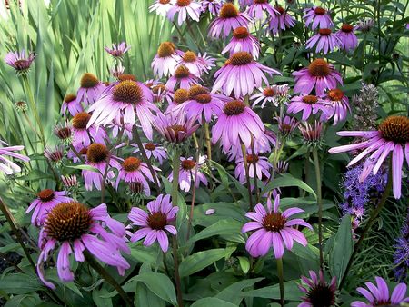 Close view of beautiful garden of purple cone flowers. photo