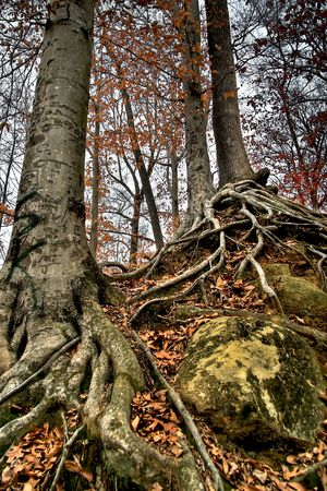 criss: Roots from three trees scatter and criss cross down the hillside.