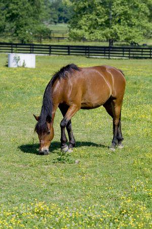 Bay horse grazing in field. photo
