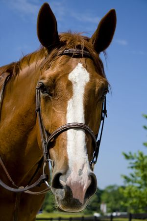 bridle: Portrait of a horse wearing a bridle.